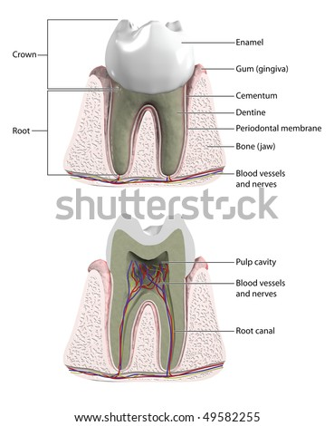 Molar tooth with cross section to show blood supply and nerves -- labeled