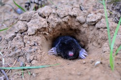 Mole crawling out of molehill above ground, showing strong front feet used for digging runs underground. Mole trapping - youngs pest control. Underground creatures damage lawn.