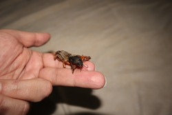 mole cricket on the hand. Biologist, exotic veterinarian examines a mole cricket. insect as a pet. Are insects agricultural pests or pets? veterinary medicine, vet clinic. animals, animal. pest, bug.
