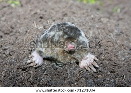 Mole in a molehill (the Netherlands)