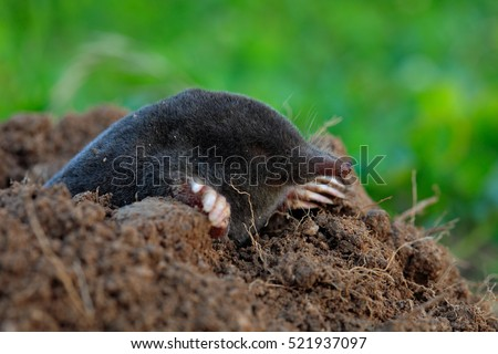 Shutterstock Mole, Talpa europaea, crawling out of brown molehill, green grass at backgrond. Mouse in soil. Mole in the grass with brown soil. Mole in the nest hole.