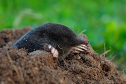 Mole, Talpa europaea, crawling out of brown molehill, green grass in background. Animal from garden.
