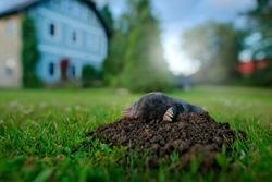 Mole, urban wildlife. Mole in garden with house in background. Mole, Talpa europaea, crawling out of brown molehill, green grass. Wide angle lens with cute animal, garden wildlife.