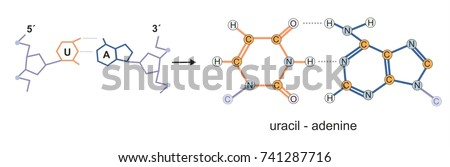 Molecular structure of ribonucleic acid (RNA) base-pair uracil and adenine.