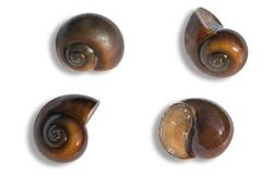 mollusk that lives in freshwater in Asia.