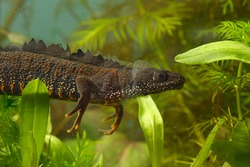 Molting great crested newt or triturus cristatus releasing and removing the old skin releasing the transparent layer with the fresh head out already while rest is visible as a grey layer under water