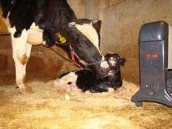Mom and animal baby Cow Calf Close up of mom cow licks newborn calf clean in a barn Birth of new life, Cute baby Animal ,slow life ,Cute animal, beautiful animal Veterinarian cow Veterinary medicine
