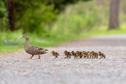 Mom and Baby Ducks Enjoying Spring