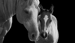 Mom And Baby Horse Standing On The Black Background