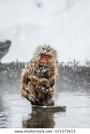 Stock Photo Mom and baby Japanese macaque sitting on stones in the water in a hot spring. Japan. Nagano. Jigokudani Monkey Park. An excellent illustration.