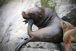 MOM AND BABY SEA LION IN ISLA DE CHOROS, CHILE