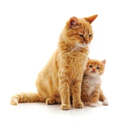 Mom cat with kitten isolated on a white background.