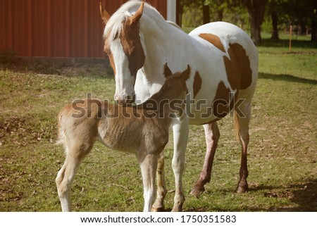 Moment of tenderness and affection between paint horse mare and young foal colt close up in farm field.