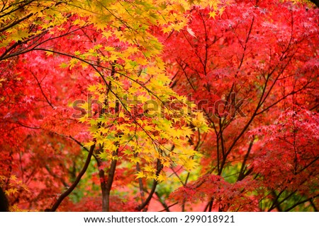 Momiji, Japanese maple in autumn season