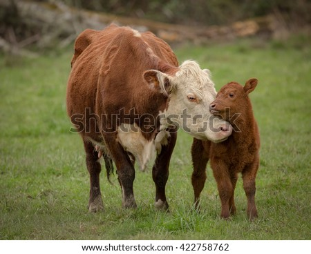 Momma Cow and Calf