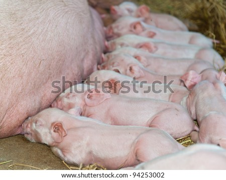 Momma pig feeding baby pigs