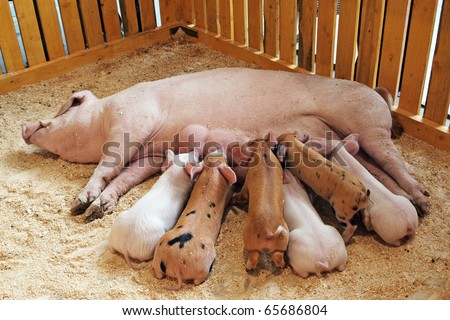 Momma pig feeding hungry little piglets
