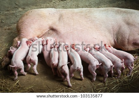 Momma pig feeding the kids