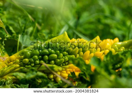 Momordica charantia is a plant that gets its name from its taste and It becomes more and more bitter as it ripens. Bitter Melon or bitter gourd Diabetes Bitter melon
