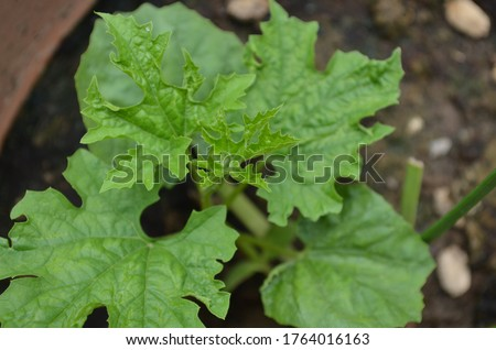 Momordica charantia is a tropical and subtropical vine of the family cucurbitaceae,widely grown for its edible fruit. Also known as bitter melon, bitter gourd. Its leaves are with three to seven lobes