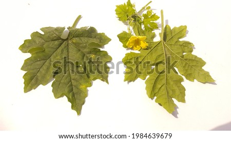 Momordica charantia leaves and flower(colloquially: bitter melon; bitter apple; bitter gourd; bitter squash; balsam-pear; with many more names listed below) isolated on white background