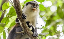 Mona Monkey, found in West Africa, between Ghana and Cameroon. Photo was shot in Nigeria