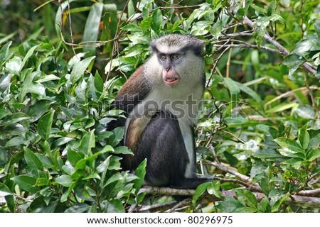 stock-photo-mona-monkey-on-the-island-of-grenada-80296975.jpg
