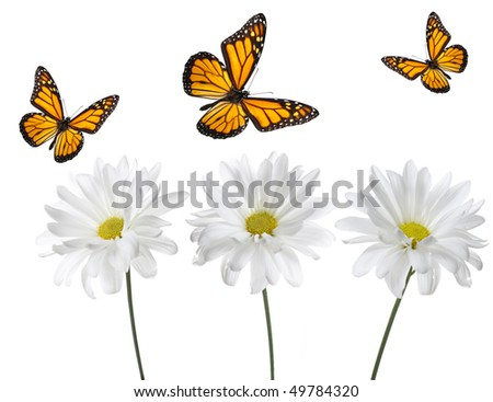Monarch Butterflies and White Daisies. Studio lit and perfectly isolated - stock photo
