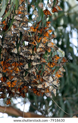 Monarch Butterflies gather in large groups during migration to the central coast in trees that provide a tranquil area for the insect to develop into the next stage of life
