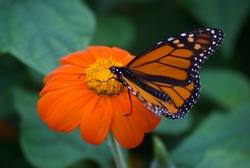 Monarch butterflies in Toronto, Ontario, park on the Island.
