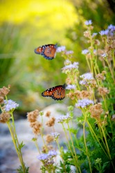 Monarch butterflies landing on garden flowers to feed on nectar and lay eggs for future generations.
