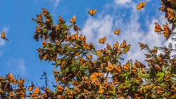Monarch Butterflies on tree branch in blue sky background, Michoacan, Mexico