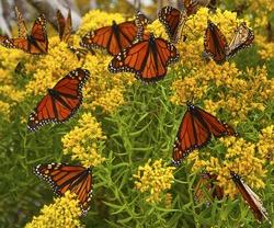 Monarch butterflies on yellow flowers