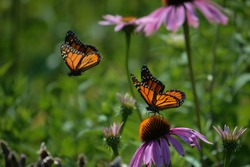 Monarch butterflies resting and in flight