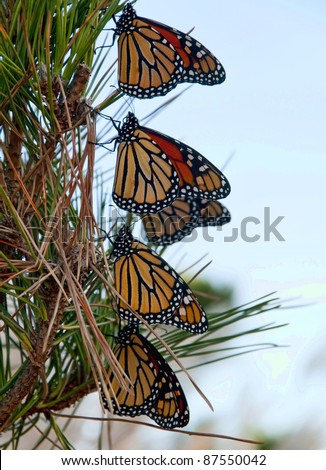 Monarch butterflies resting during migration - stock photo