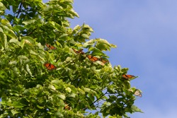 Monarch Butterflies roosting at the tip of Point Pelee National Park