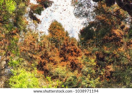 Monarch Butterflies Spring Awakening in Mexico