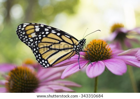 Monarch Butterfly #343310684