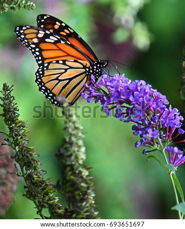 Monarch Butterfly #693651697
