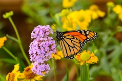 Monarch Butterfly - A monarch butterfly feeding on pink flowers in a Summer garden.