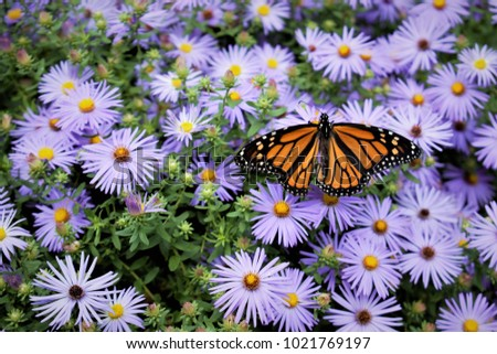 Monarch Butterfly and Flowers #1021769197