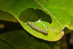 monarch butterfly caterpillar on a green leaf with a partially eaten leaf