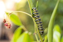 Monarch Butterfly Caterpillars on Milkweed
