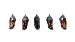 Monarch butterfly chrysalis, transparent with five different angles showing the butterfly inside. Isolated on white. The monarch butterfly or simply monarch, Danaus plexippus, is a milkweed butterfly.