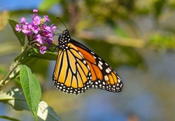 Monarch Butterfly Close-up at the garden