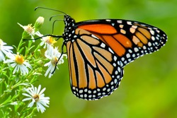 Monarch Butterfly collecting nectar from a white aster flower. Tommy Thompson Park, Toronto, Ontario, Canada.