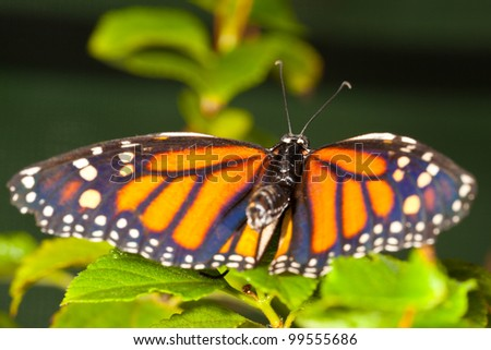 Monarch Butterfly (danaus plexippus) feeeding on flowers