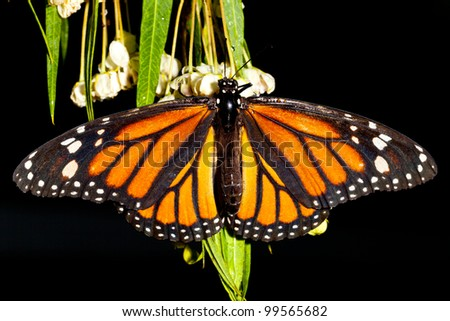 Monarch Butterfly (danaus plexippus) feeeding on flowers