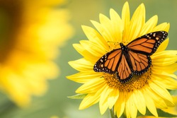 Monarch Butterfly, Danaus plexippus, on bright yellow sunflower on a sunny summer morning