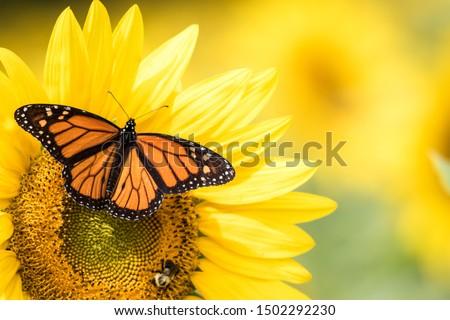 Monarch Butterfly, Danaus Plexippus, on bright yellow sunflowers on a sunny summer morning Stock photo ©